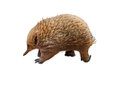 Australian Echidna Royalty Free Stock Photo