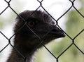 Australian emu named Erofei of Gatchina menagerie