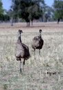 Australian Emu Pair Royalty Free Stock Photography