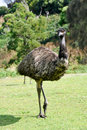Australian emu at Tower Hill wildlife reserve Stock Image