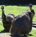 Australian Emus Royalty Free Stock Photos