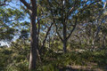 Australian eucalypt trees east coast forest eucalyptus late winters day showing undergrowth copy space Stock Image