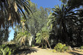 Australian eucalypts and date palms alley of canary island in boyce thompson arboretum state park az Royalty Free Stock Photos