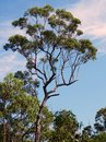 Australian Eucalyptus Tree Royalty Free Stock Photo