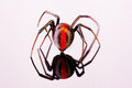 Australian female redback spider walking away with reflection on perspex Stock Photo
