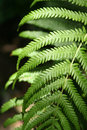 Australian Fern Stock Photography