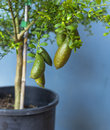 Australian Finger lime or Caviar Lime on tree. Royalty Free Stock Photo