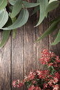 Australian flowers summer background gum or eucalyptus leaves with christmas bush on a wood christmas bush is an plant that has Stock Photo