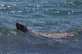 Australian fur seal (Arctocephalus pusillus) Royalty Free Stock Photo
