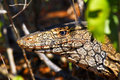 Australian goanna lace monitor varanus varius close up Stock Image
