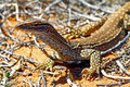 Australian goanna lace monitor varanus varius close up Royalty Free Stock Photo