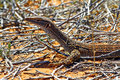 Australian goanna lace monitor varanus varius close up Royalty Free Stock Photography