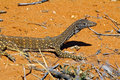 Australian goanna lace monitor varanus varius on sand Stock Photos