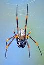 Australian Golden orb weaver spider Royalty Free Stock Photo