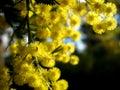 Australian Golden Wattle Royalty Free Stock Photo