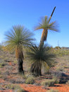 Australian grass tree Stock Images