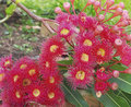 Australian gum tree eucalyptus in red flower Royalty Free Stock Photo