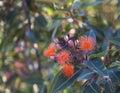 Australian Gumnut blossoms Royalty Free Stock Photo