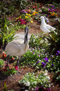 Australian ibis threskiornis moluccus white in garden an imposing sight a black and white bird standing three quarters of a metre Royalty Free Stock Photography