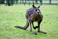 Australian kangaroo in rain Royalty Free Stock Photos