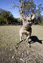 Australian kangaroo wideangle wild taken with Royalty Free Stock Images