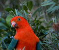 Australian king parrot Alisterus scapularis Stock Photo