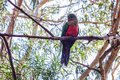 Australian King Parrot sitting on an eucalyptus tree Royalty Free Stock Photo