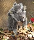 Australian koala bear carrying cute baby australia Royalty Free Stock Photo