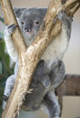Australian koala bear with her baby joey on belly Royalty Free Stock Photo
