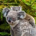 Australian koala bear native animal with baby and Happy Australia Day greeting Royalty Free Stock Photo