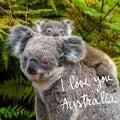 Australian koala bear native animal with baby and I Love You Australia text Royalty Free Stock Photo