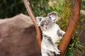 Australian koala bear perching in tree Stock Images