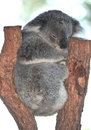 Australian Koala Bear sleeping tree,queensland Royalty Free Stock Photo