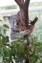 Australian Koala climbing gum tree Royalty Free Stock Photo