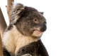 Australian koala close up isolated Royalty Free Stock Photo