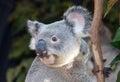 Australian koala headshot portrait of cute photogenic holding a gum tree and looking very alert Stock Photography