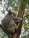 An australian koala is a marsupial animal phascolarctos cinereus in eucalyptus tree in australia Royalty Free Stock Photography