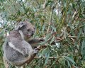 An australian koala is a marsupial animal phascolarctos cinereus in eucalyptus tree in australia Royalty Free Stock Image