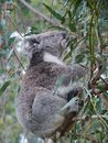 An australian koala is a marsupial animal phascolarctos cinereus in eucalyptus tree in australia Stock Image