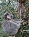 An australian koala is a marsupial animal phascolarctos cinereus in eucalyptus tree in australia Royalty Free Stock Photos