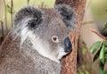 Australian koala Royalty Free Stock Photo