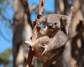 Australian koala relaxing in tree eucalyptus gum Stock Images