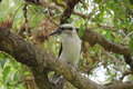 Australian kookaburra bird sitting in a tree Royalty Free Stock Photos