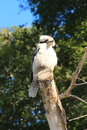 Australian Kookaburra bird sitting on tree branch Royalty Free Stock Photo