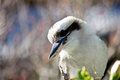 Australian kookaburra close up Royalty Free Stock Images