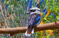 Australian laughing kookaburra bird Royalty Free Stock Photo