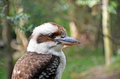 Australian Laughing Kookaburra (Dacelo novaeguineae) Royalty Free Stock Photo