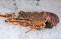 Australian lobster