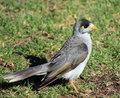 Australian Myna bird Stock Photography