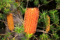 Australian native banksia flower Stock Photos